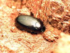 Shiny Teneb (treegrow) Tags: rockcreekpark washingtondc nature lifeonearth raynoxdcr250 arthropoda beetle coleoptera insect tenebrionidae platydema