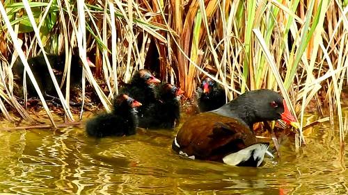 AP0402.DSCN0317.04 oiseau aquatique 25 (poule d'eau poussin lac nourrit) Pref
