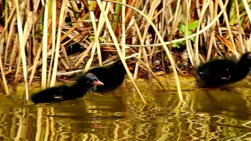 AP0402.DSCN0317.01 oiseau aquatique 25 (poule d'eau poussin lac nourrit) Pref