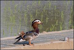 Mandarin duck (hej_pk / Philip) Tags: fujifilm fuji xpro1 xp1 fujixpro1 gwangju kwangju sydkorea pentaxm75150mmf4 75150mm smcpentaxm75150mmf4 smc pentax kmount anka natur ducks mandarinducks mandarin manualfocus manual