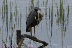 Grey Heron (Cheryl's Wildlife) Tags: wildlife nature 2019 birdwatching nikon sigma photography naturereserve rspb minsmere suffolk eastanglia coast suffolkwildlifetrust