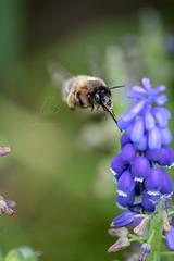 Wildbiene (BMelzer Fotografie) Tags: insekt insects insekten wildbiene traubenhyazinthe