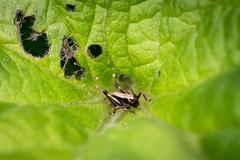 Gewöhnliche Strauchschrecke, Larve (BMelzer Fotografie) Tags: insekt insects insekten