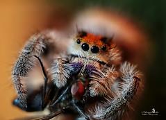 Isolde beim Abendmahl (Schneeglöckchen-Photographie) Tags: springspinne spider fliege fly hungry hungrig isolde pets