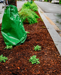 2019.05.04 Vermont Avenue Garden Blooms and Work Party, Washington, DC USA 01943