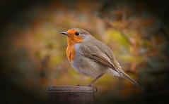 Robin Portrait (Dibbly Dobbler) Tags: sonyrx10iii robin edinburghbotanicgardens