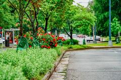2019.05.04 Vermont Avenue Garden Blooms and Work Party, Washington, DC USA 01992