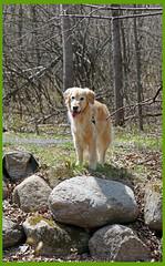 Sunny 18/52 (Lianne (calobs)) Tags: 52 weeks for dogs goldenretriever