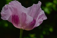 The Wave (oybay©) Tags: poppy pink frilled shirley fragile delicate pretty and no photo isnt upside down drooping tissue like stem petal macro