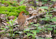 Wood Thrush (swmartz) Tags: nikon nature newjersey outdoors wildlife mercercounty may 2019 200500mm d610 birds woodthrush wood thrush polefarm mercermeadows