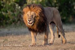 Lion (mayekarulhas) Tags: lion bigcats mammal masaimara kenya africa wildlife wild safari canon canon500mm canon1dxmark2 carnivores