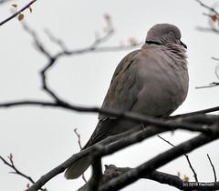 DSC_0220 (RachidH) Tags: birds oiseaux dove touterelles pigeons mourningdove zenaidamacroura tourterelletriste dolorespark dolores sanfran sanfrancisco sf ca california rachidh nature