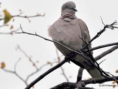 DSC_0227 (RachidH) Tags: birds oiseaux dove touterelles pigeons mourningdove zenaidamacroura tourterelletriste dolorespark dolores sanfran sanfrancisco sf ca california rachidh nature