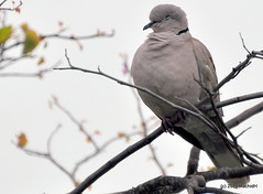 DSC_0233 (RachidH) Tags: birds oiseaux dove touterelles pigeons mourningdove zenaidamacroura tourterelletriste dolorespark dolores sanfran sanfrancisco sf ca california rachidh nature