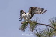 Air Dried (NikonDigifan) Tags: osprey birdofprey birdwatching bird nature naturephotography naturesfinest wildlife wildlifephotography idaho pacificnorthwest nikond850 nikon nikon20050056 mikegassphotography