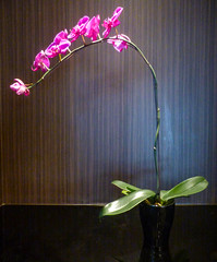 The Pink Orchid (Steve Taylor (Photography)) Tags: orchid black blue pink green wallpaper asia city singapore plant leaves flower hotel