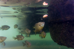 Into temptation (agasfer) Tags: 2019 southcarolina oconee county devilsforkstatepark lake jocassee sony a6000 sonye3556pz1650oss underwater fish bluegills