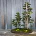 Bonsai Trees at Huntington Library & Botanical Gardens - Pasadena, CA