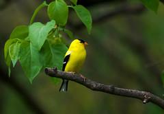 American Goldfinch (Spinus tristis) (Kremlken) Tags: spinustristis finches pa birds birding birdwatching nikon500 spring