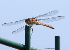 Libellule_002 (Ragnarok31) Tags: animal animaux insecte libellule nature faune
