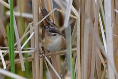 Marsh Wren (rexdalemartin) Tags: marshwren marsh wren brown bird birds white black nikon sigma