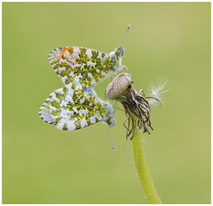 Orange Tips (nigel kiteley2011) Tags: orangetip anthochariscardamines butterfly butterfrlies lepidoptera nature macro insects canon 5dmk3 sigma180mm