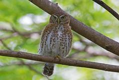 Cuban pygmy owl (Glaucidium siju) - Holguín Province, Cuba - Feb 2019 (Dis da fi we) Tags: cuban pygmy owl glaucidium siju holguín province cuba