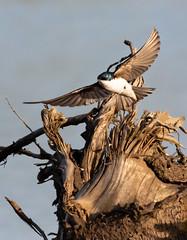 Tree Swallow (Gary R Rogers) Tags: swallow flight bird treeswallow