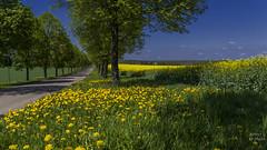 Tree avenue, dandelions and rapeseed field (KF-Photo) Tags: 169 baumallee einsiedel grasflächen löwenzahn löwenzahnstreifen maistimmung strase vanishingpoint linien fluchtpunkt
