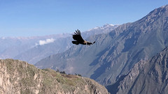 Condor's beauty (Chemose) Tags: condor canyonducolca colcacanyon oiseau bird montagne mountain canyon landscape paysage andes pérou peru sony ilce7m2 alpha7ii avril april condorcross croixducondor