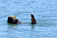 SeaOtters_03 (DonBantumPhotography.com) Tags: wildlife nature animals seaotters ocean sea water wildanimals donbantumphotographycom donbantumcom