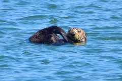 SeaOtters_02 (DonBantumPhotography.com) Tags: wildlife nature animals seaotters ocean sea water wildanimals donbantumphotographycom donbantumcom