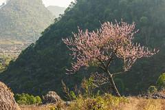 _J5K9697.0210.Cán Chu Phìn.Mèo Vạc.Hà Giang (hoanglongphoto) Tags: landscape flower peachblossom tree canon spring vietnam hàgiang phongcảnh mùaxuân hoa hoađào cây canoneos1dsmarkiii canonzoomlensef70200mmf28lisiiusm asia asian northernvietnam northeastvietnam springinvietnam springinhagiang hagianglandscape hagiangscenery đôngbắc mùaxuânhàgiang hoađàohàgiang mèovạc cánchuphìn vietnamlandscape vietnamscenery closeups cậncảnh sunlight sunny flanksmountain sườnnúi sunnymorning nắngsớm