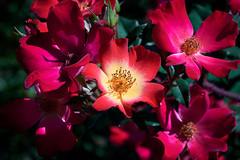 WA_190424_8 (alfrd p) Tags: nature flora plant flower macro waitearboretum captureone rose