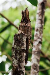 A trip to the Amazon Basin: Day 3 (*Hairbear) Tags: southamerica potoo amazonianbasin river tambopata bananas bird reserve caymanlodgeamazonie peru withdad holiday banana
