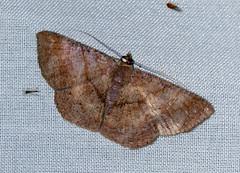 ecosystem/fauna/Geometrid Moth(Petelia medardaria) (biodiversity western ghats(before it is gone)) Tags: taxonomy:binomial=peteliamedardaria geometridae ennominae caberini diversityindia indianmoths