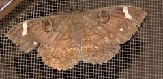 ecosystem/fauna/Erebid Moth(Erebus hieroglyphica) (biodiversity western ghats(before it is gone)) Tags: taxonomy:binomial=erebushieroglyphica erebidae erebinae erebini diversityindia indianmoths