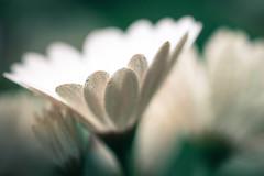 in the air (christophe.laigle) Tags: air fourelements christophelaigle fleur macro eau macromondays pluie flower fuji terre drops nature xpro2 xf60mm gouttes