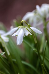 Snowdrops (Karen_Chappell) Tags: nature flower floral flowers green white wildflower spring may snowdrop wildflowers snowdrops canonef100mmf28usmmacro macro stjohns newfoundland grandconcourse nfld eastcoast avalonpeninsula atlanticcanada canada