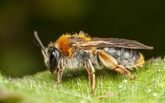 Mining Bee (snomanda) Tags: insect arthropod animal invertebrate green spring garden nature macro closeup bee pollination pollinator hymenoptera arthropoda mining