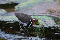 Greater Painted Snipe (leendert3) Tags: leonmolenaar wildlife southafrica krugernationalpark animals birds greaterpaintedsnipe ngc npc