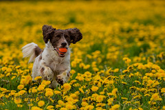 running in dandelions (Flemming Andersen) Tags: zigzag pet nature dog dandelions outdoor cocker hund animal vejleøst regionofsoutherndenmark denmark ball yellow