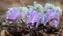 After the Snow (Katy on the Tundra) Tags: springcrocuses crocuses snow