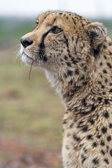 Sithle looking up (Tambako the Jaguar) Tags: cheetah big wild cat close portrait face profile looking up pretty beautiful male lionsafaripark johannesburg southafrica nikon d5