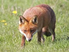 Fox (in countryside) (Alan McCluskie) Tags: fox vixen renard redfox mammal ruralfox countryside canon7dmk2 sigma150600mmsp nature wildlife