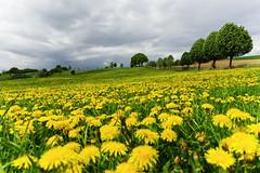 Löwenzahn 2 (michaelmueller410) Tags: dandelion löwenzahn gelb blühen wiese meadow grass gras trees karst clouds cloudy storm stormy wolken bewölkt wolkig blumen harz