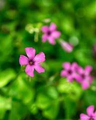 Pink flower (akatsoulis) Tags: nikkor nikoneurope nikonuk spring nikkor50mm14g d5300 nikon macrodreams nature xanthi greece garden macro closeup bokeh flowers