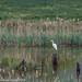 Great Egret at Ynys-Hir
