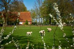 sheep (Jos Mecklenfeld) Tags: sonya6000 sonyilce6000 sonyepz1650mm selp1650 westerwolde niederlande nederland sheep schafe schapen spring frühling lente terapel groningen netherlands