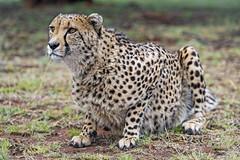 Sithle lying nicely (Tambako the Jaguar) Tags: cheetah big wild cat lying posing looking portrait face profile nice pretty male grass lionsafaripark johannesburg southafrica nikon d5